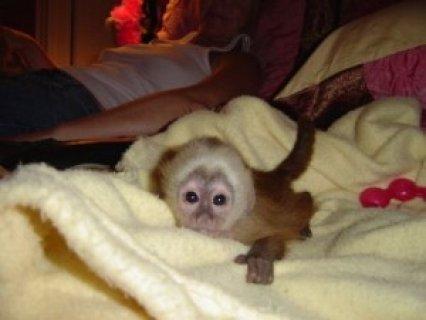 اثنين من الاطفال الموهوبين القرود القرد لاعتماده