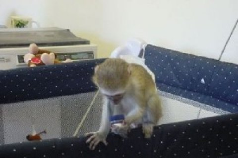 Baby Face Capuchin Monkeys available for adoption