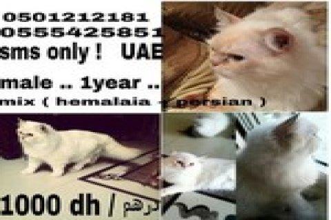 قط شيرازي عمره سنه للبيع