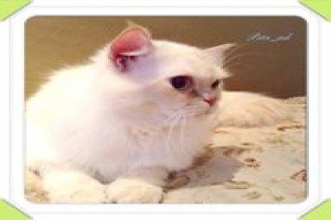 قط شيرازي العمر سنه للبيع