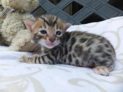 القطط البنغال جميل للبيع