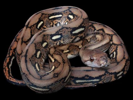Reticulated pythons for sale at very good price