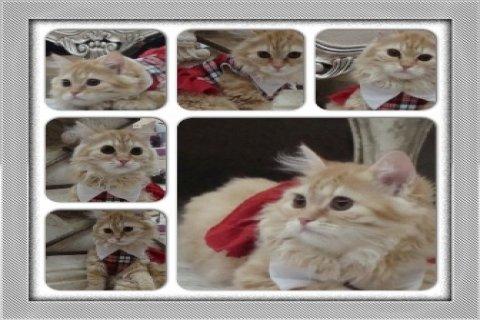 قطة شيرازية عسلية مع ملحقاتها