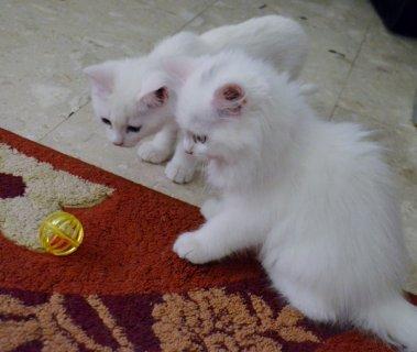 قطتين صغيرتين