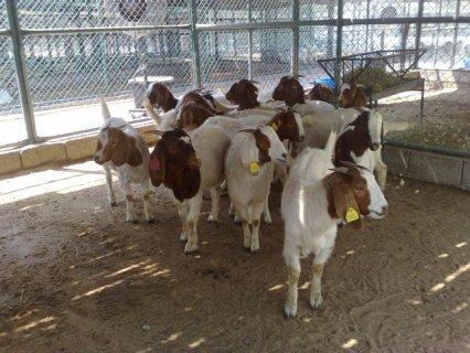 للبيع بور غوت boer goat