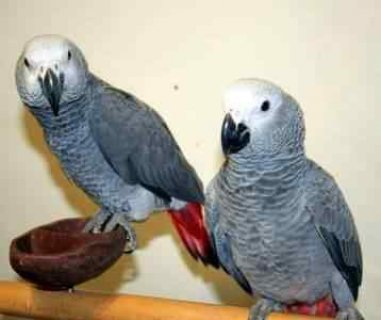 We sell baby African Greys while on bottle feedings, and baby A
