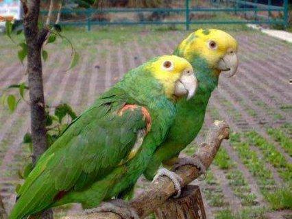 Double yellow headed amazon parrots