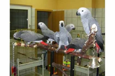 Social talking african grey parrots to give away urgently