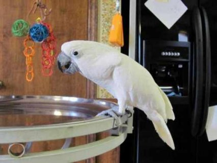 Cute Male And Female Umbrella Cockatoos Parrots Available for ad
