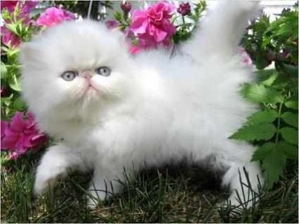 Persian Kitten For Sale(2 males and 2 females)