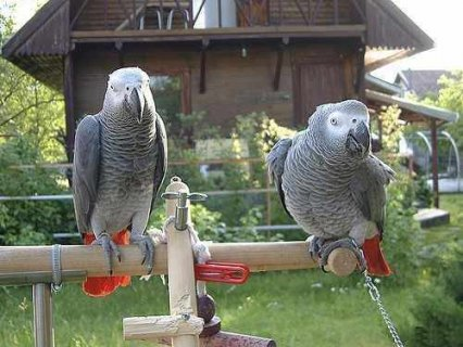 ell trained talkative African Grey Parrot Blue and Gold Macaw av