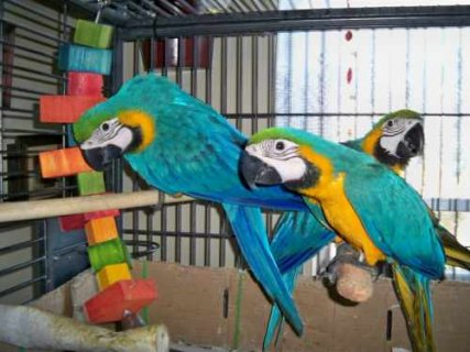 Blue and gold macaw Hyacinth