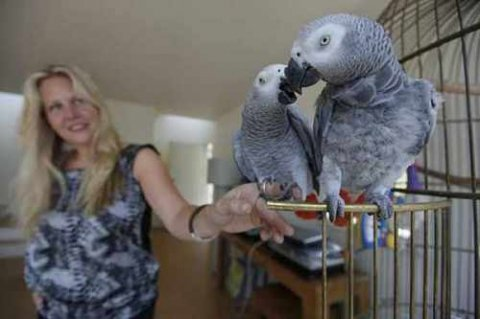 Talking African Grey Parrots Available Now