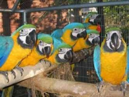 Macaw Parrots And Fertile Eggs Of All Species for sale