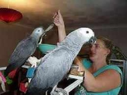 Sweet Male and Female African Grey Parrots For Adoption
