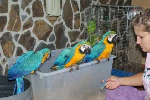 ★★★AKC blue and golden macaw parrots for good and caring