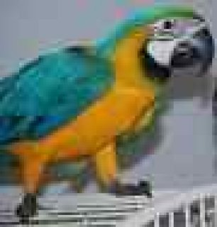 My Beautiful Male and Female Blue and Golden Macaw parrots  Are