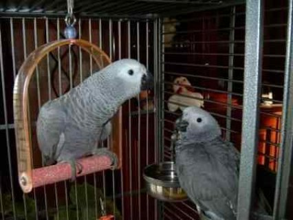 Sweet African Grey Parrots Available