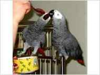 Beautiful African Grey Parrots.