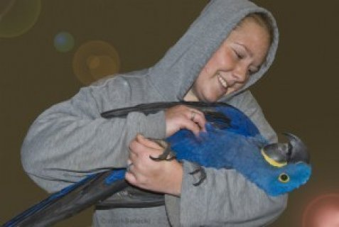 Adorable Talking Hyacinth Macaw Parrots for Sale