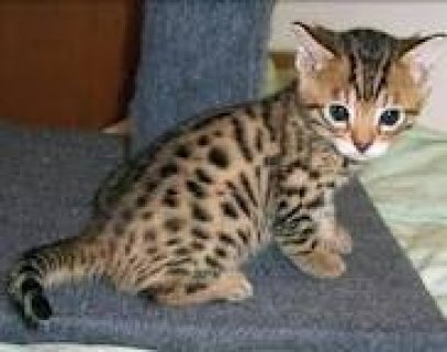 home raised bengal kittens for adoption