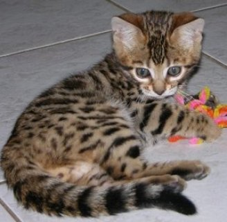 Registered Bengal Kittens