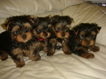 Teacup Perfection is our YORKIE PUPPY