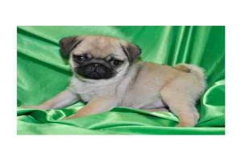 صور Handsome Male and Female Pug Puppies for Kids  1