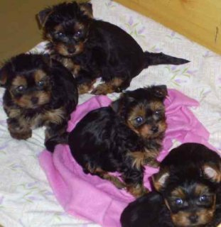 Male and female yorkshire puppies ready now