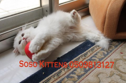 Cute Persian kittens for sale