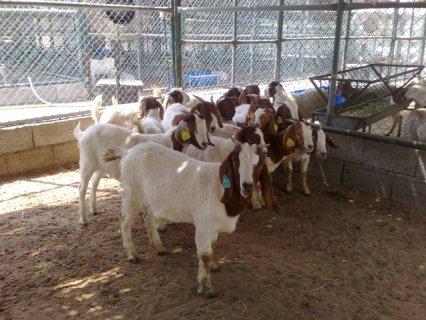 بور غوت boer goat