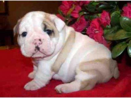 Home raised English bulldog puppies for free adoption