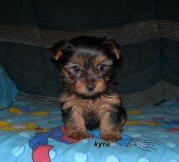 Lovely Male And Female Teacup Yorkie Puppies For Adoption