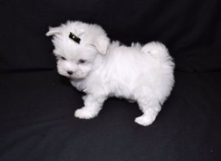 Perfect Teacup Maltese Puppy