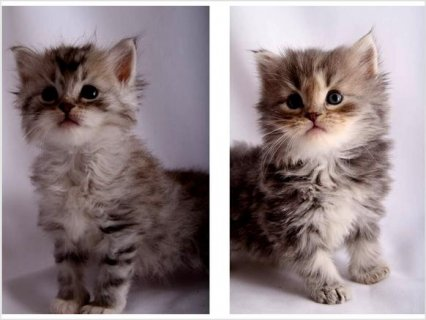 ICA registered hypo-Allergenic Siberian kittens