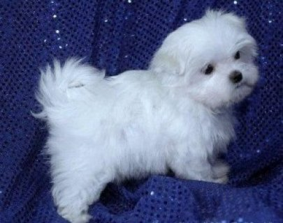 Adorable Maltese Puppies with Friendly Personalities