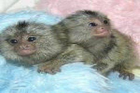 Pygmy Marmoset Monkeys for Sale