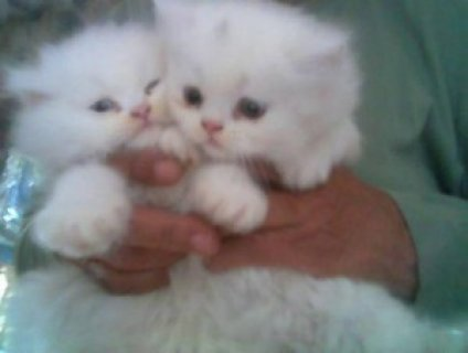 Charming Gifts:Baby Face Persian Kittens Ready For Sale