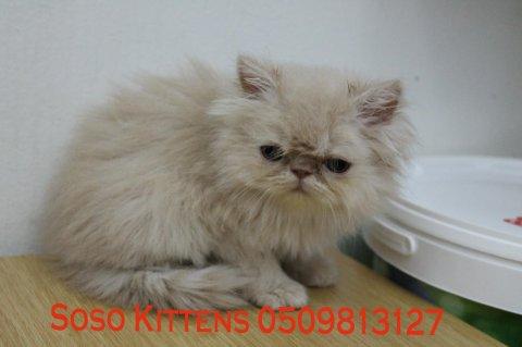 قطط شيرازية جملية وودودة للبيع