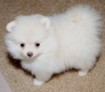 صور Male Pomeranian Puppy 1
