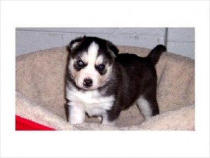 Blue Eyed Siberian Husky Puppy!
