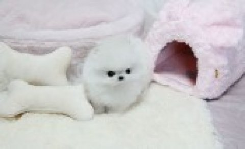صور T-cup Size Pomeranian Puppies for Re-homing 1