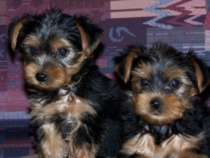 XMASSS TALENTED MALE AND FEMALE TEACUP YORKIE PUPPIES FOR FREE A
