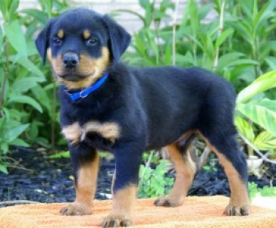 Adorable Rottweiler Puppies for Rehoming