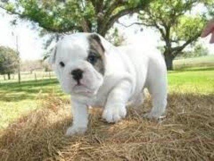 2 English Bulldog Puppies for adoption
