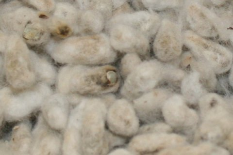 cotton seed for sale and free shiping