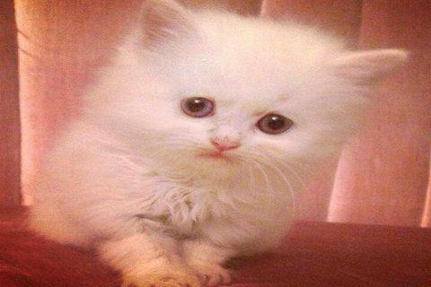 قطط شيرازي أصلي للبيع ، العمر ٣ شهور