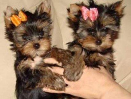 Gorgeous Yorkie Puppies for Adoption