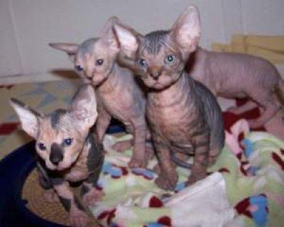 Lovely Sphynx Kittens for adoption