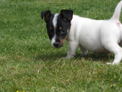 Jack Russell Terrier for sale.